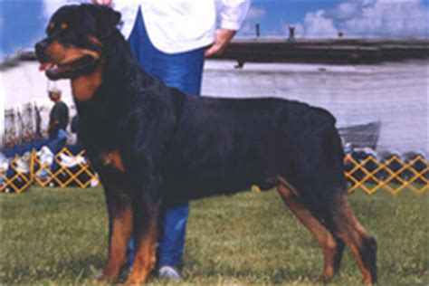 rottweiler cut ears history of ear cropping part 2 by international all breed judge