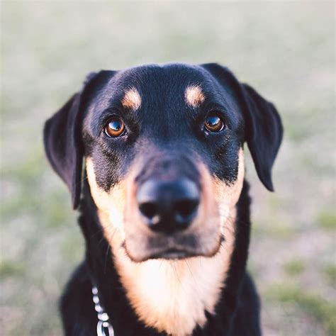 rottweiler black and black and coonhound rottweiler mix www imgkid the image kid has it