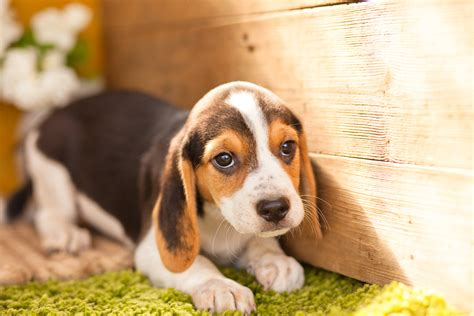 beagle puppies indiana tri colour beagle puppies kellys kennels