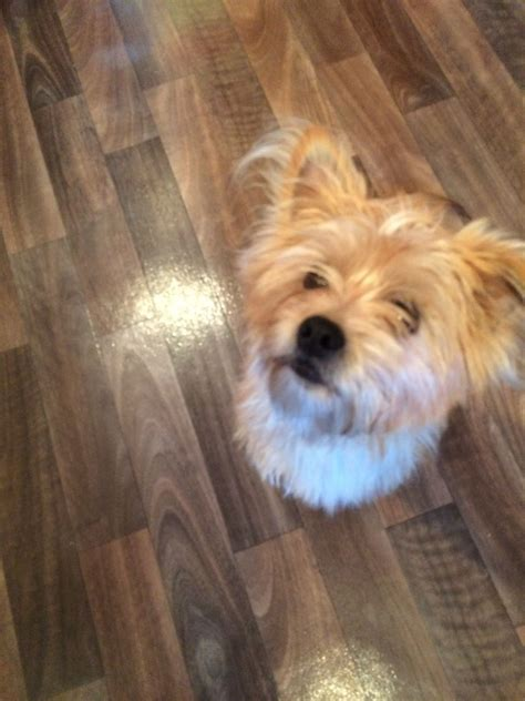 shih tzu x yorkie for sale shih tzu x terrier for sale rugby warwickshire pets4homes