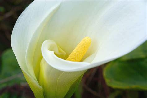 romantic flowers calla lily flower
