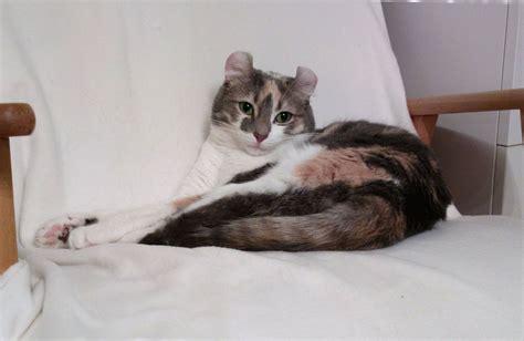 kitten pees on bed американський керл опис породи фото характер відео