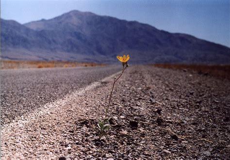 fiore deserto fiore nel deserto flickr photo