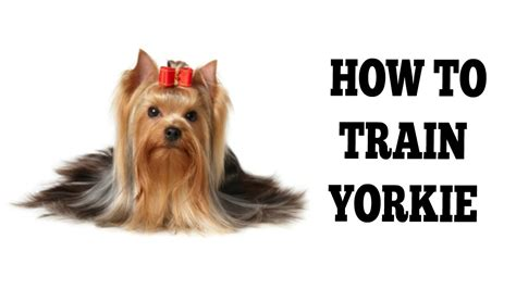how to your yorkie to do tricks how to a yorkie puppy to do tricks