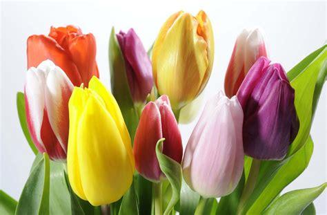 imagenes tulipanes rosas kukyflor 3 mitos sobre los tulipanes