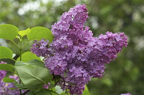 purple lilacs tips for growing lilac bushes