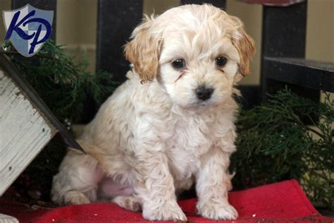 poodle chihuahua mix puppies yorkie poodle mix puppy is a poodle puppy for sale in bemidji m5x eu