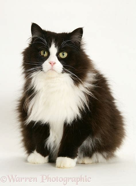 Fat black and white cat photo WP26267