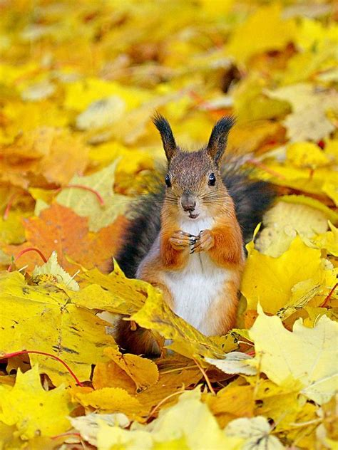 animal seasons squirrels autumn the cozy carpet of golden leaves fall leaves squirrel and leaves