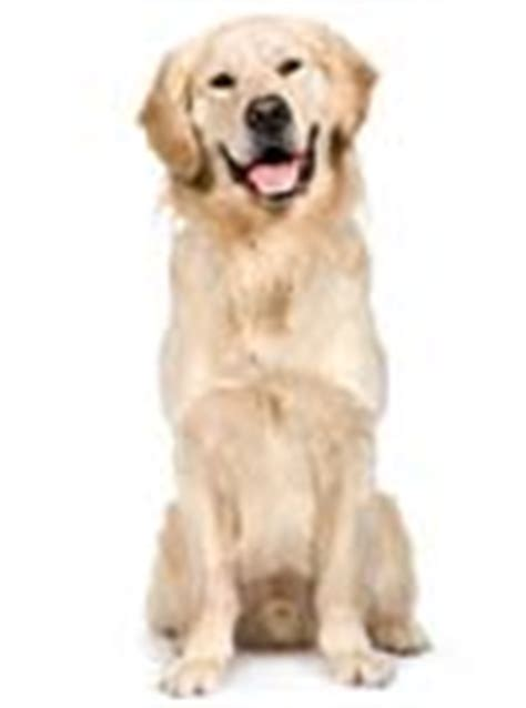 golden retriever names and meanings golden retriever names unique ideas