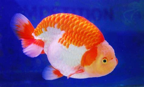 Pakan Alternatif Ikan Koki 19 jenis jenis ikan koki penjelasan lengkap dan gambarnya