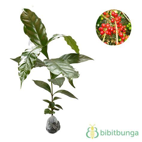 Bibit Kopi Arabika tanaman kopi arabika