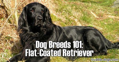libro flat coated retriever training guide lovable dogs dog breeds 101 flat coated retriever