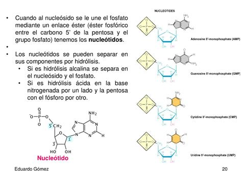 ester fosforico ppt 193 cidos nucleicos powerpoint presentation id 197322