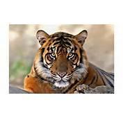 Rock Mountain Tiger 4K Wallpaper  Free