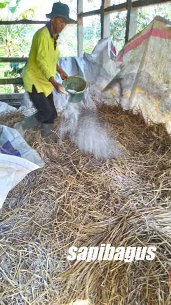 proses pembuatan fermentasi jerami padi sapibagus