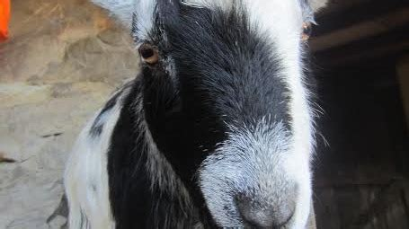 new year find out what animal you are it s the year of the goat find out what animal