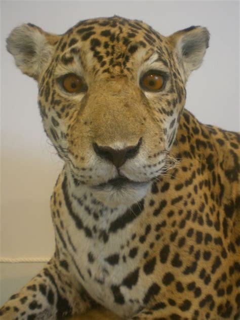jaguar pattern house cat animal galleries pictures of animals from around the