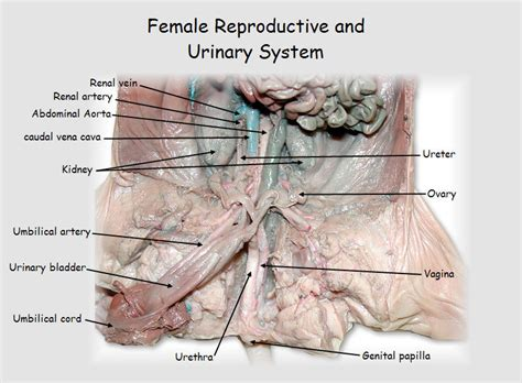 fetal pig excretory system diagram reproductive system diagram human anatomy charts