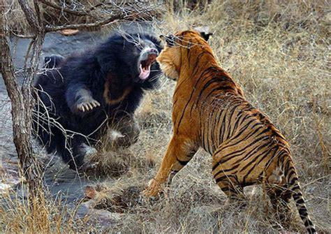 harimau melawan beruang siapa   menang galena
