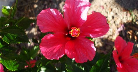 are hibiscus poisonous to dogs are hibiscus plants poisonous to dogs ehow uk