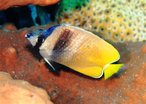 Makanan Ikan Hias Hokky Fish Food makanan ikan butterflyfish best image of butterfly