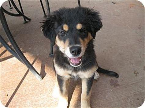 bernese mountain maine shaloma adopted puppy portland me german shepherd bernese mountain mix