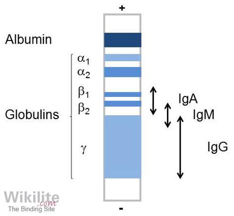 protein electrophoresis serum serum protein electrophoresis wikilite