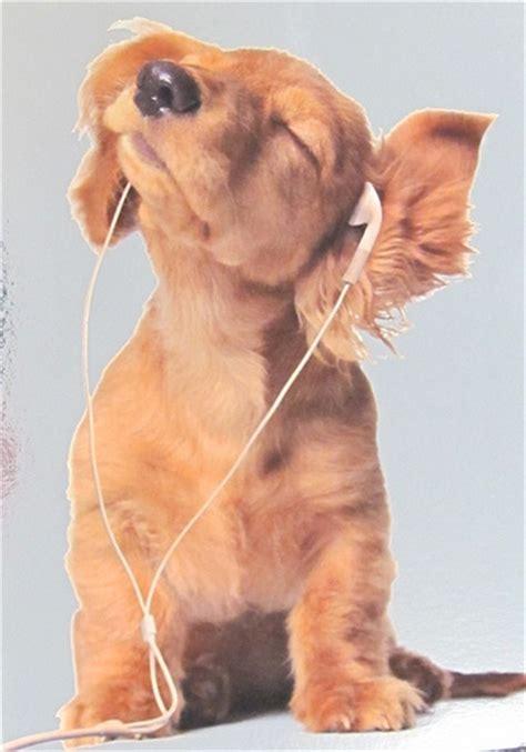puppy with headphones dogs golden retriever puppy with headphones metallic background flickr photo
