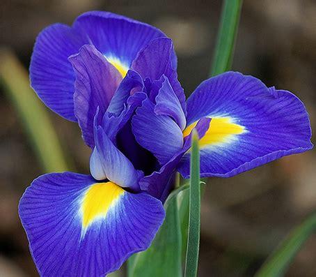 iris linguaggio dei fiori iris o giaggiolo significato simbologia e linguaggio
