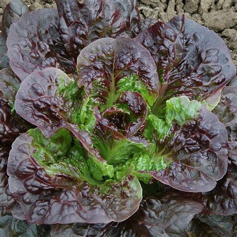 vegetable seeds for sale romaine cos lettuce seeds for sale vegetable seeds