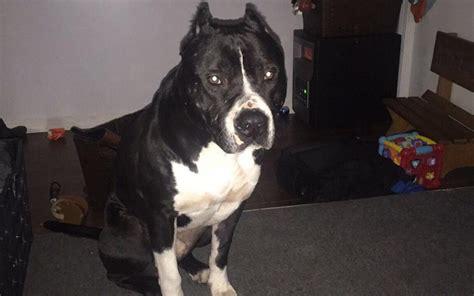 puppy rescue chicago prieto lost chicagoland rescue