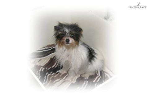 carolina yorkie breeders parti yorkie for sale in carolina breeds picture