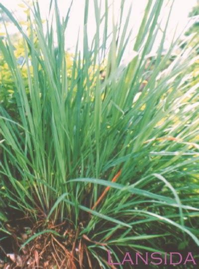 Tanaman Jahe Kebo sereh cymbopogon nardus l rendle lansida