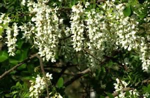 White Flowering Tree - gallery for gt white flower trees