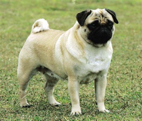 pug breeders ontario all about pug breeds picture