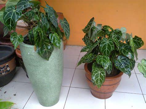 rental tanaman hias anthurium kuping gajah exclusive