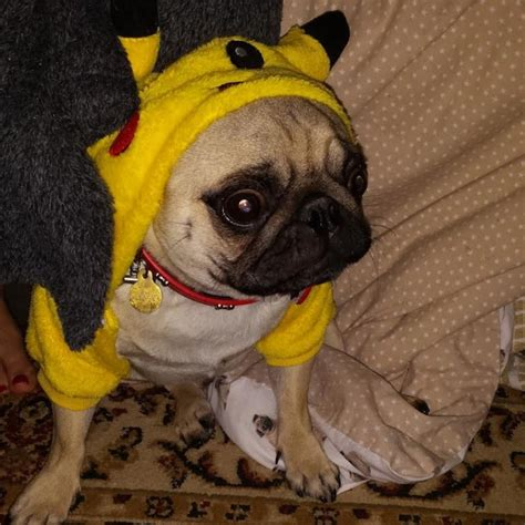 pugs dressed as things 10 things i about pugs dng24