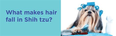 what makes a shih tzu hair loss in shih tzu serious condition that needs to be treated early