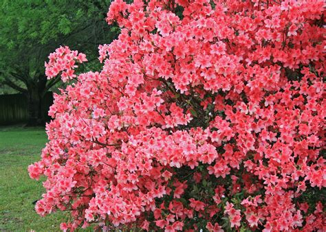 all year flowering shrubs correct pruning allows garden plants to thrive