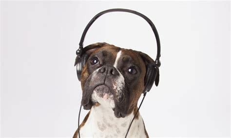 puppy with headphones with headphones wallpaper with earphones wallpaper 620x372px 372928