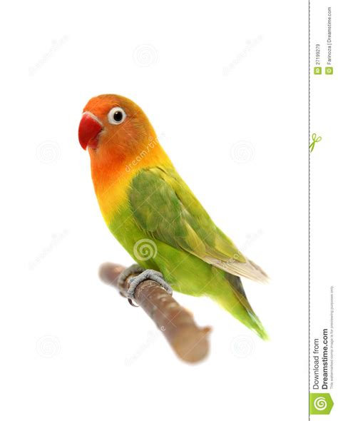 lovebird isolated on white agapornis fischeri royalty free