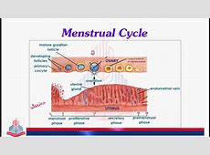Female Reproductive Cycle / Menstrual Cycle ( Follicular ... Female Period Cycle