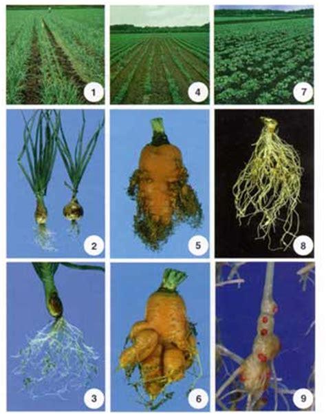 root knot nematode resistant vegetables root knot nematode fact sheet