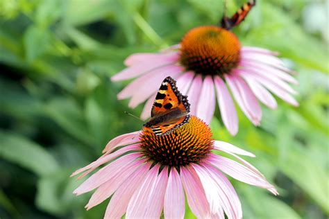 echinacea coneflower plant care guide varieties
