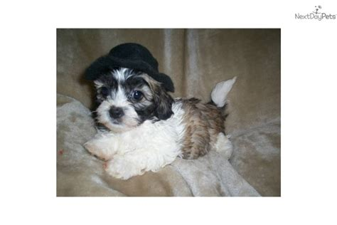 shih tzu puppies for sale in bowling green ky shih tzu for sale for 400 near bowling green kentucky ad1823c2 3f01