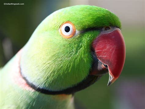 ringneck parrot as pets images