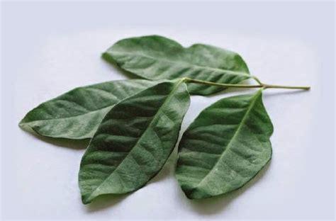 Benih Daun Salam semua menjadi khasiat daun salam
