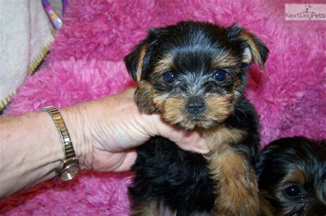 teddy yorkie puppies for sale 17 best images about dogs on yorkie puppies for sale terrier