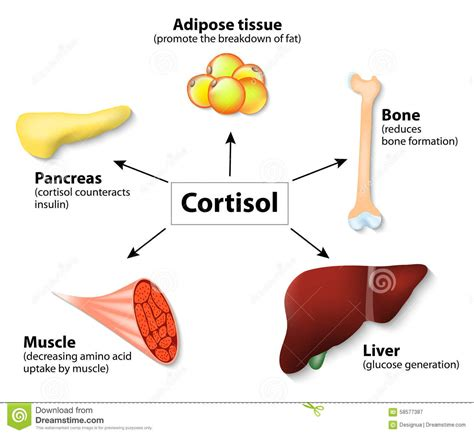 cdr level 2 weight management hormone cortisol and human organs stock vector